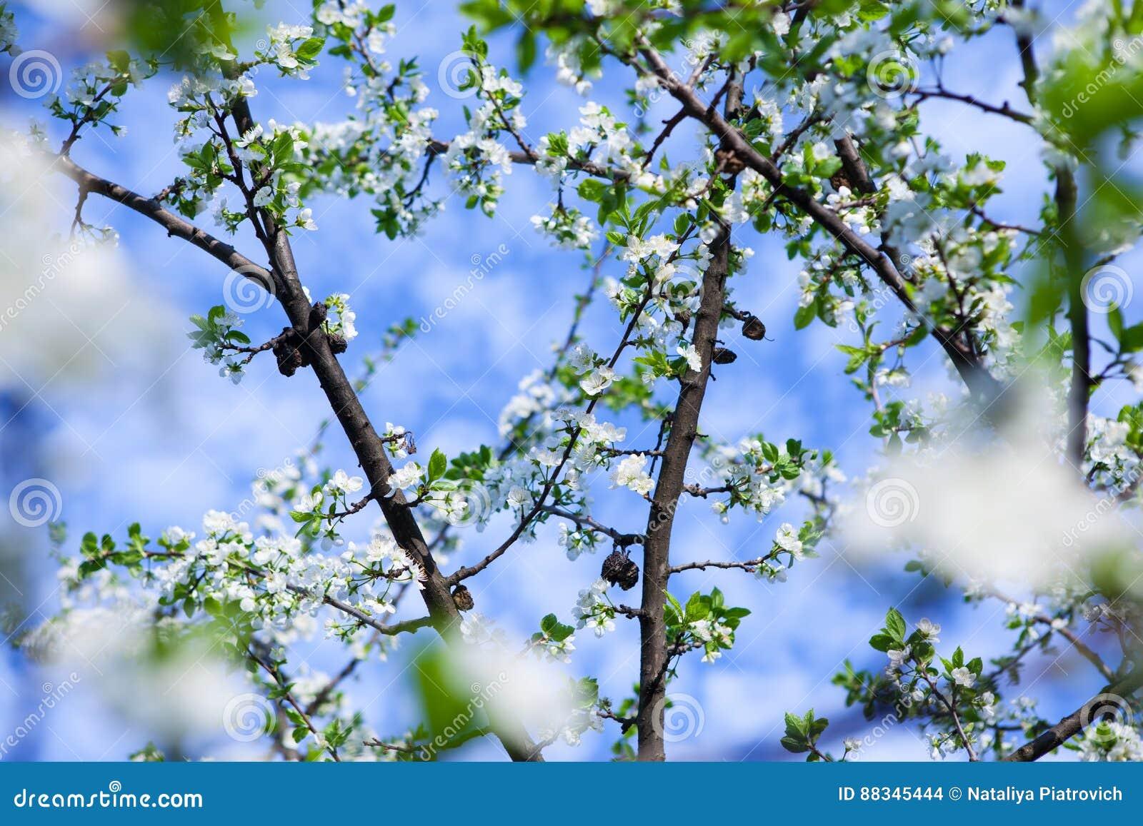 Okwitnięcia drzewo nad natury tłem