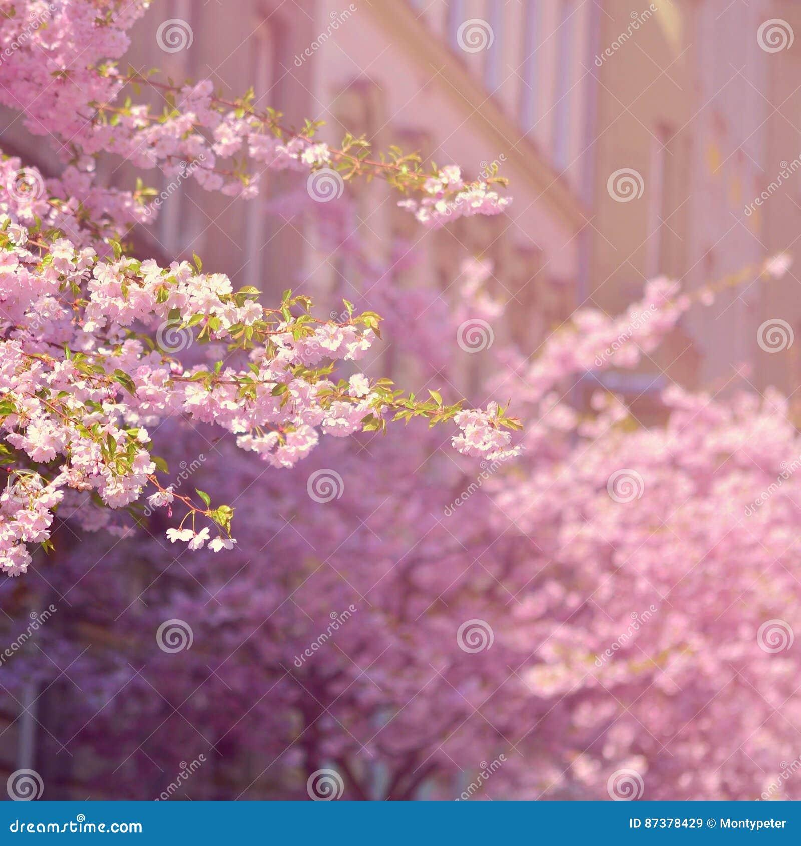 Okwitnięcia piękny drzewo Natury scena z słońcem na słonecznym dniu wiosna kwiat Abstrakta zamazany tło w wiośnie