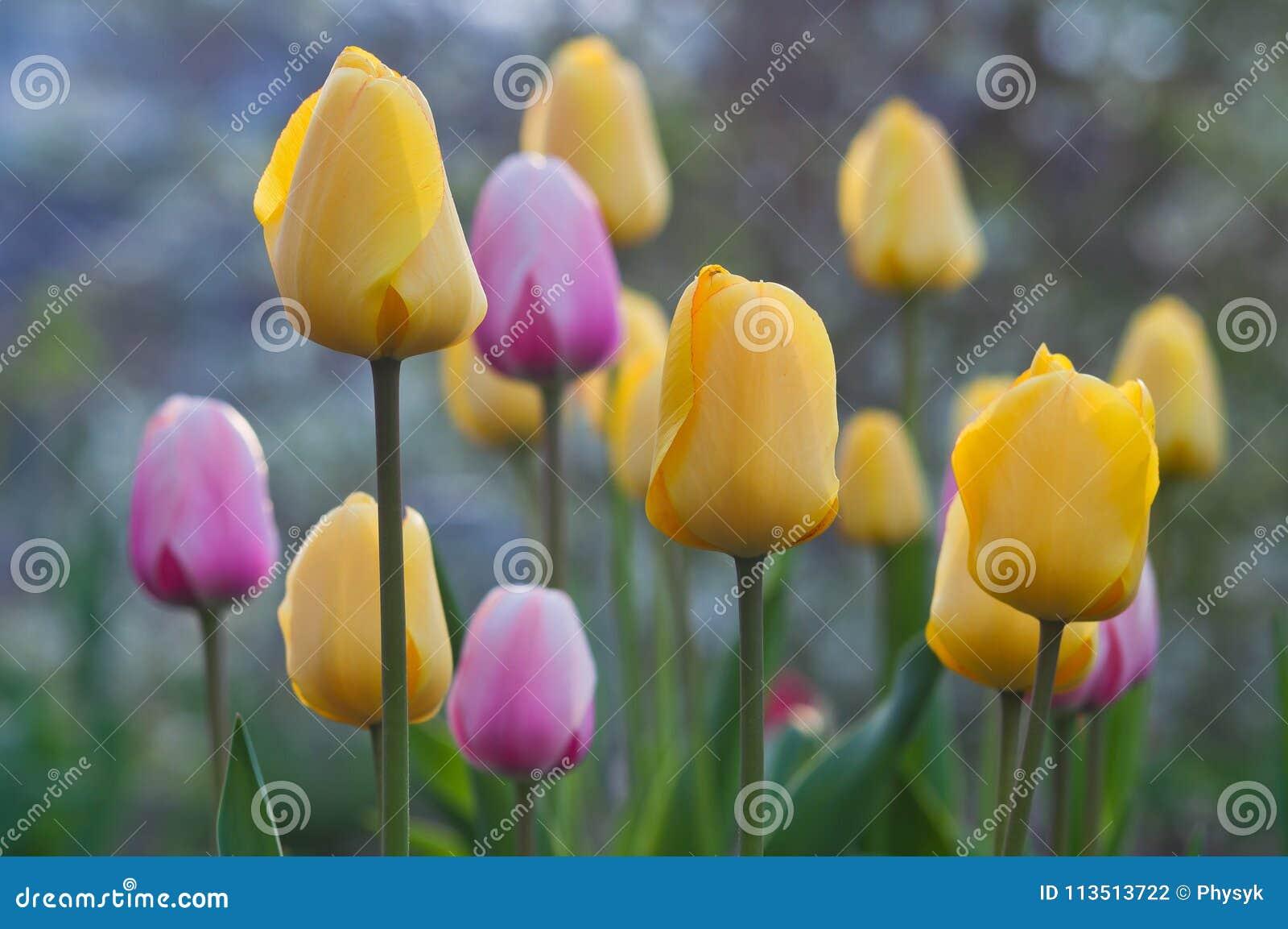 Okwitnięcie stubarwni tulipany wiosna kwiat