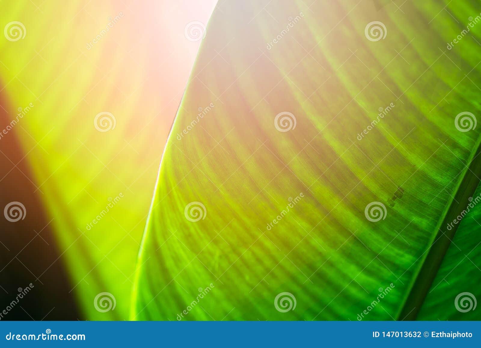 Ol?! conceito do fundo do ver?o As folhas tropicais da natureza verde, fecham-se acima do foco seletivo das folhas do heliconia N