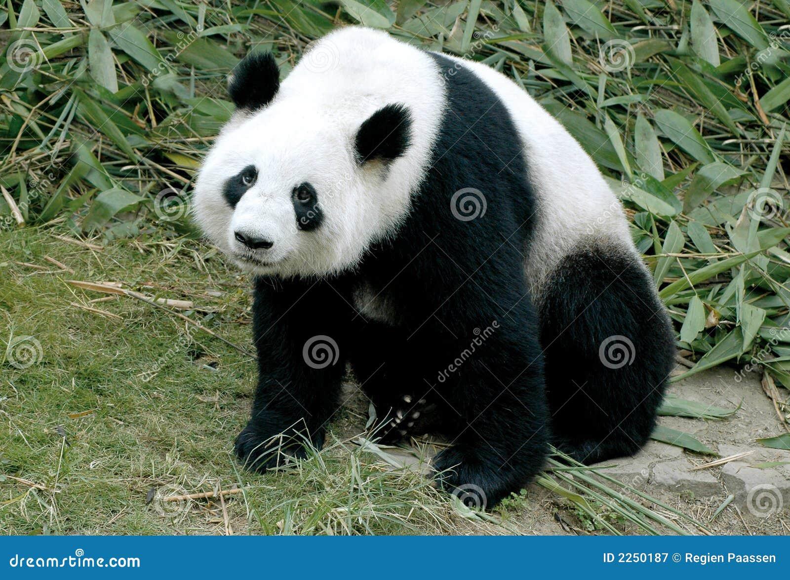 Olbrzymia panda