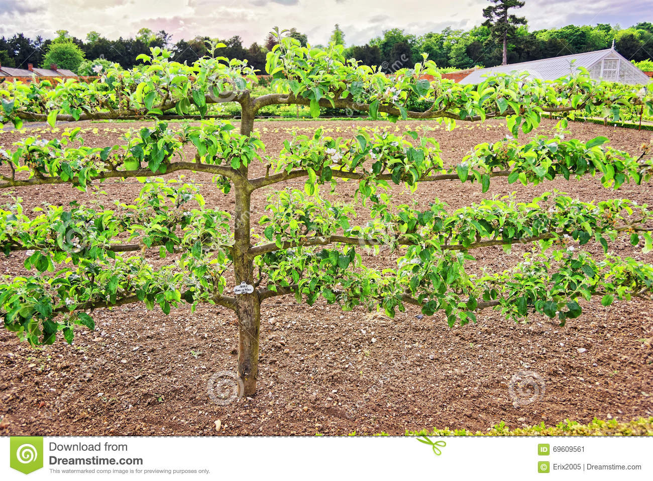 Organic Kitchen Garden Old Apple Tree In Organic Kitchen Garden In Audley End Stock Photo