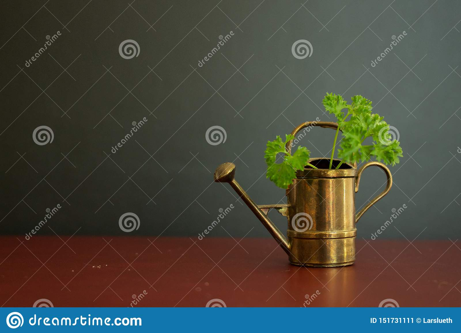 Old and beautiful watering can garden tool with green organic parsley in it.