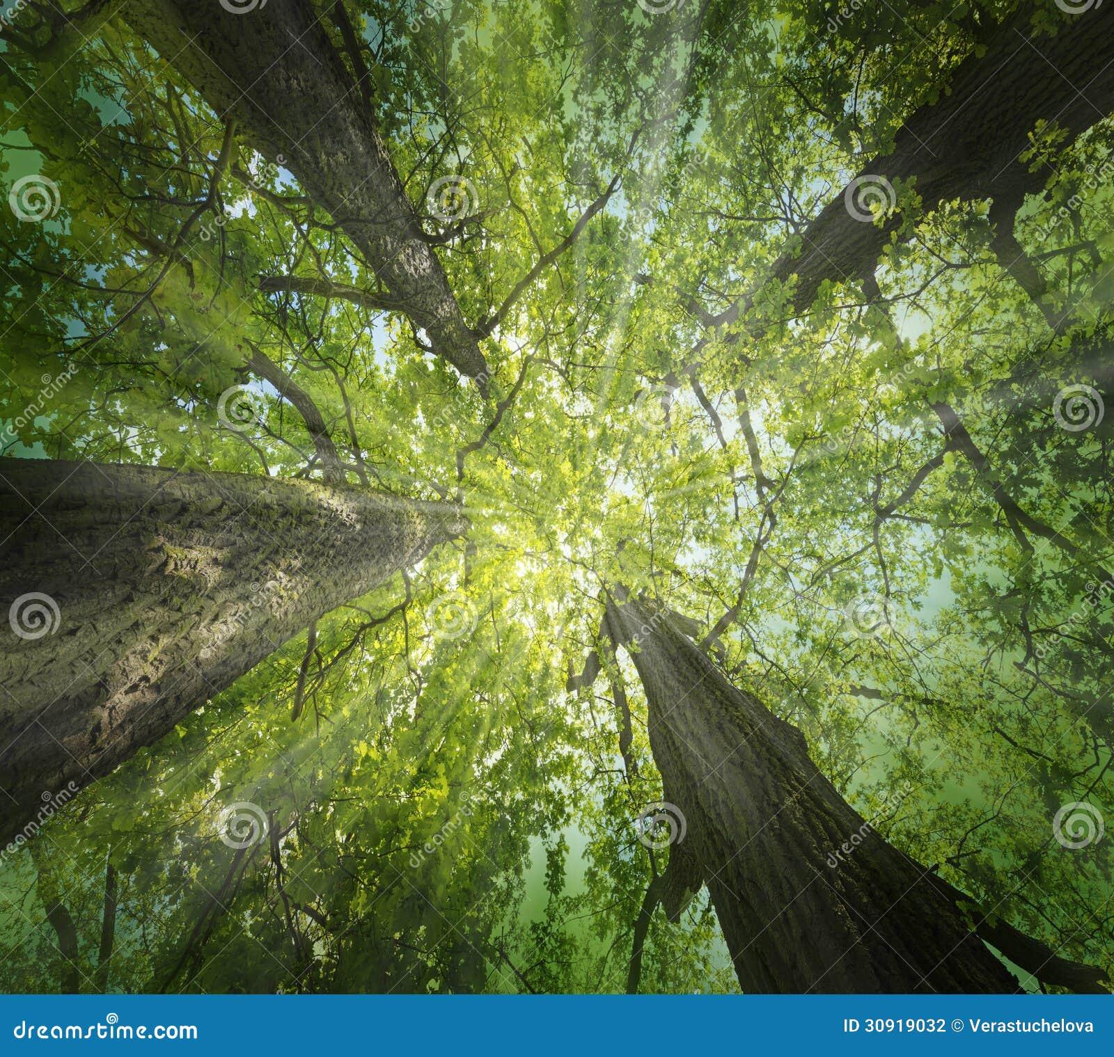 Old big oaks trees