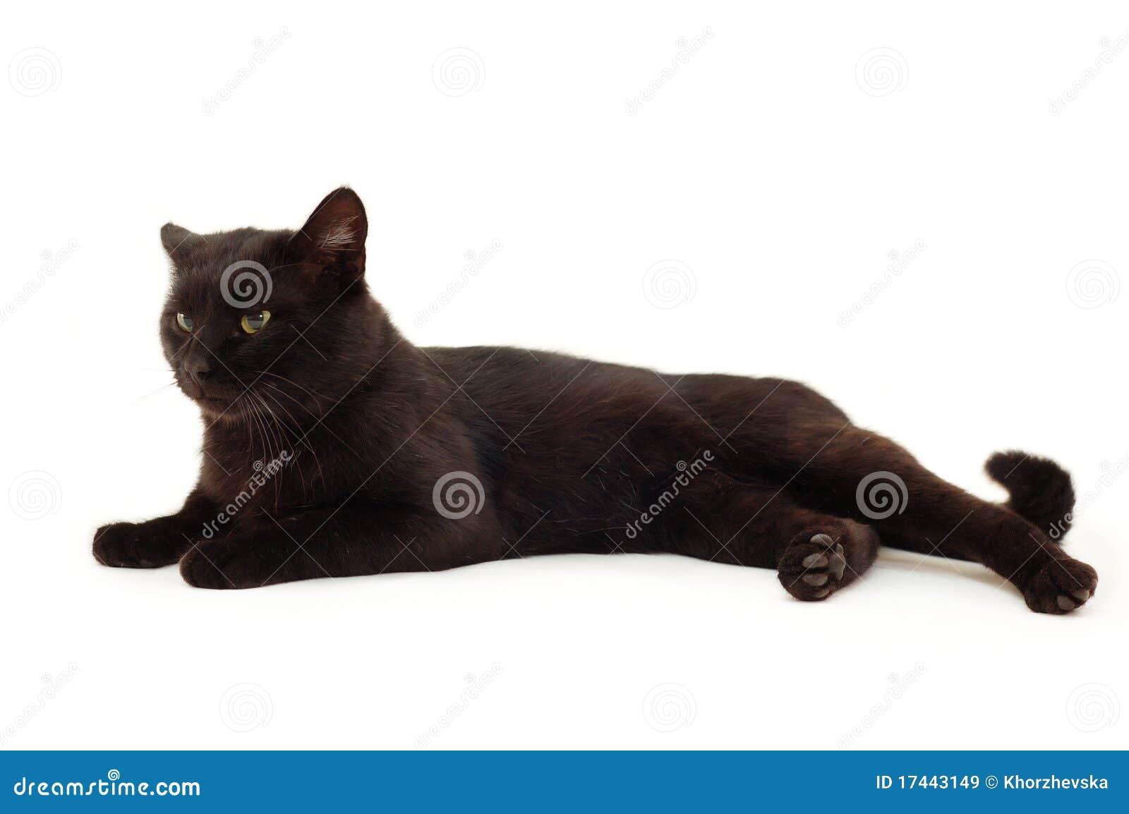 Old black cat