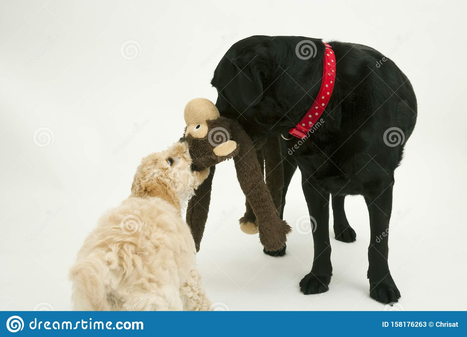An Old Black Labrador Waits As A Cockapoo Puppy Tries To Take A Toy Away Stock Image Image Of Shot Horizontal 158176263