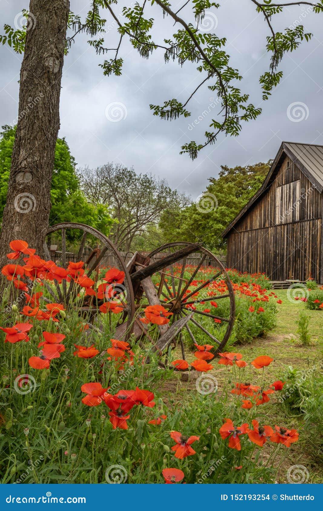 Old broken wagon parts among vivid red poppies