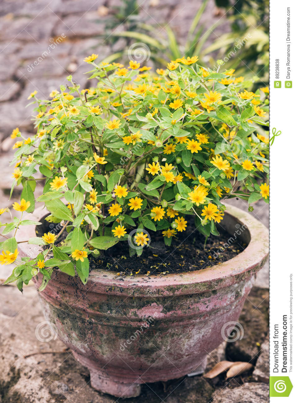 Old Ceramic Pot With Yellow Flowers Stock Photo Image Of Pink