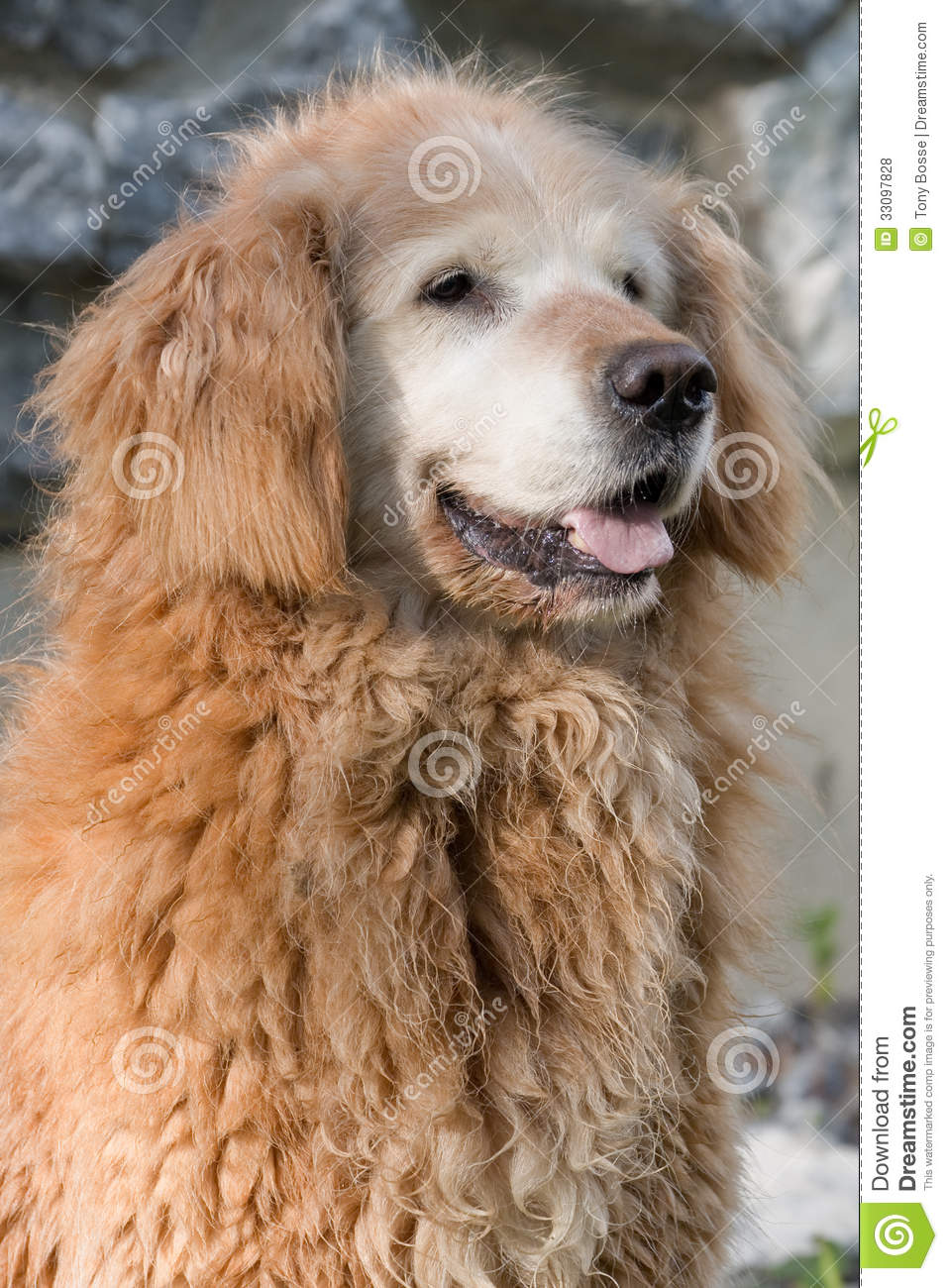 Old Curly Golden Retriever Royalty Free Stock Photos