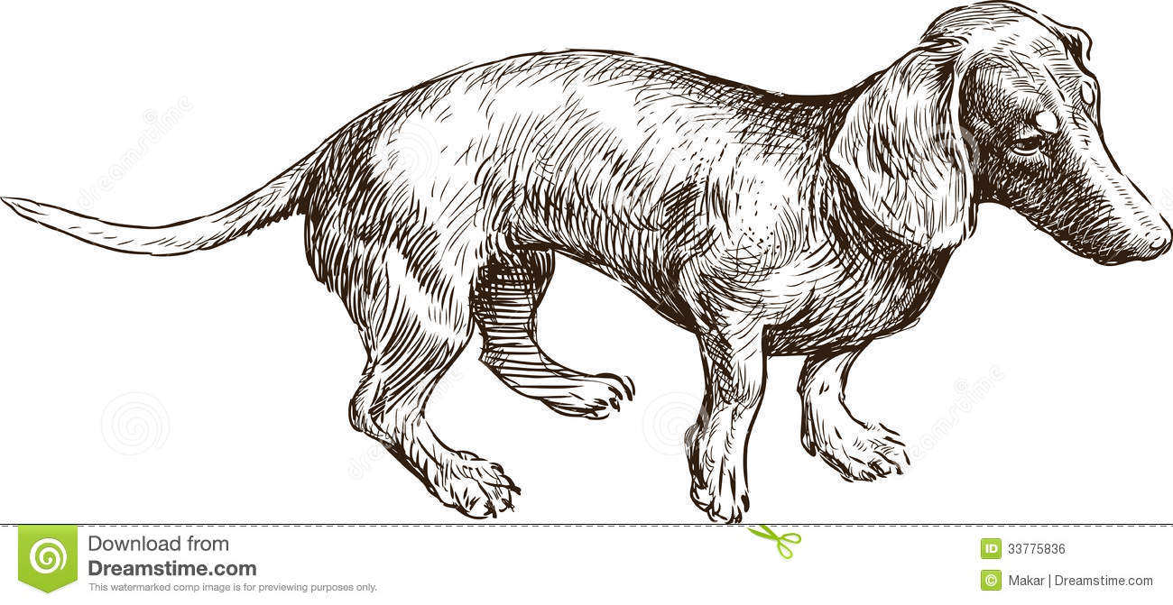 Old dachshund stock vector  Illustration of isolated - 33775836