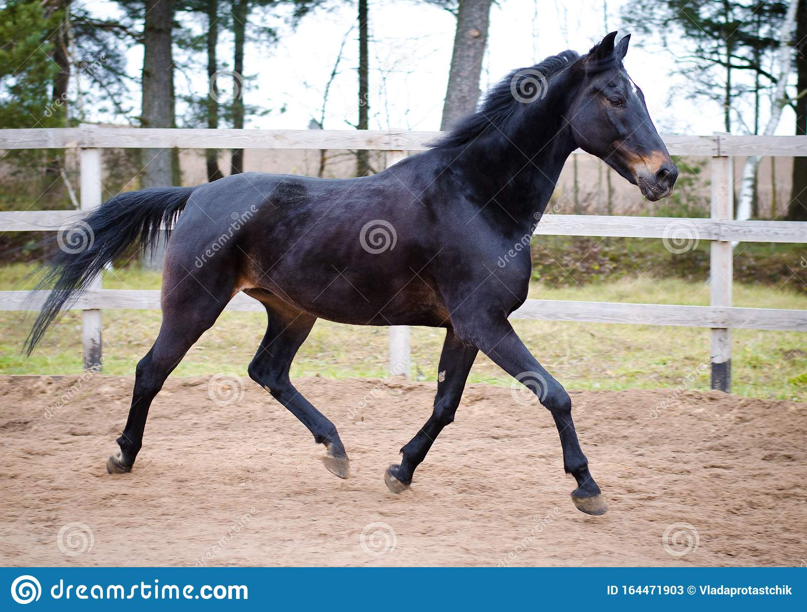 Old Dark Bay Eventing Gelding Horse Trotting In Paddock Stock Image Image Of Freedom Farm 164471903