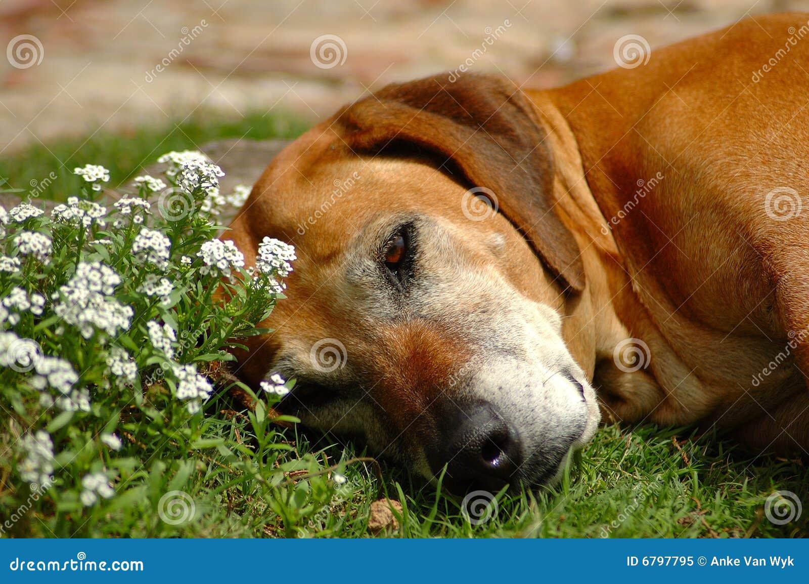 Old dog resting stock image. Image of grey, flower, adult