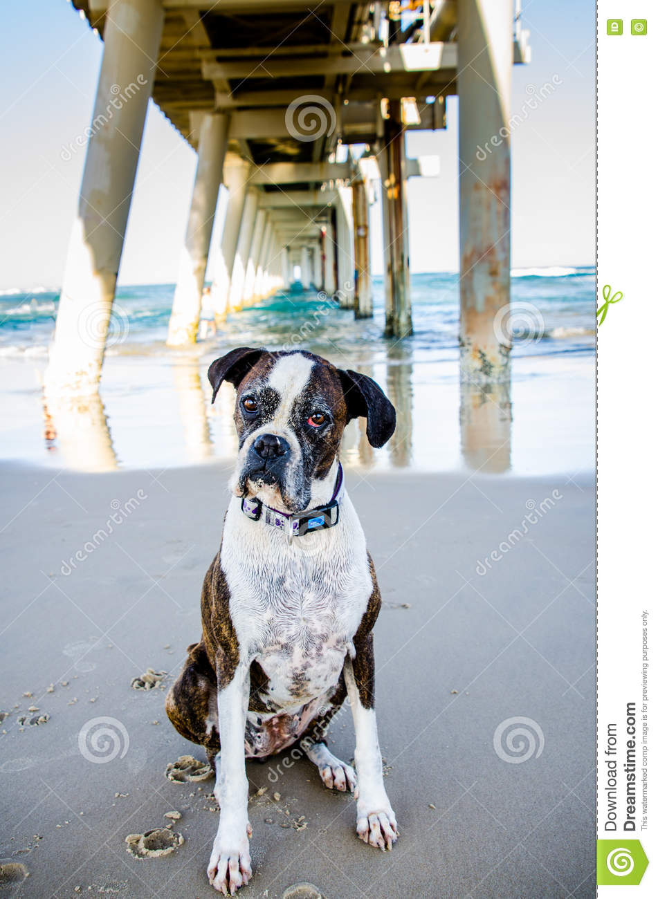 Old dog wanting owner to play on ocean beach holiday