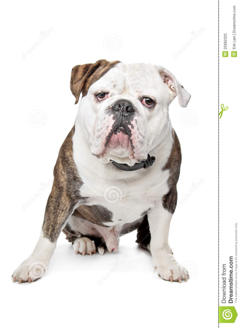 Old English Bulldog Royalty Free Stock Photo - Image: 25682325