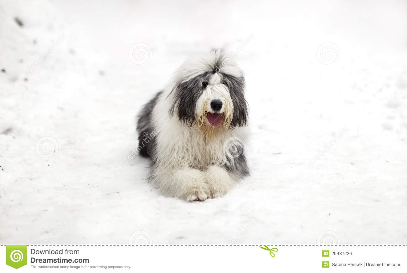 Old English Sheepdog Or Bobtail Sitting On The Snow