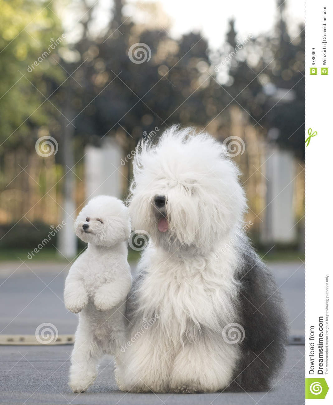 Old English Sheepdog Poodle Stock Image Image Of Qualities
