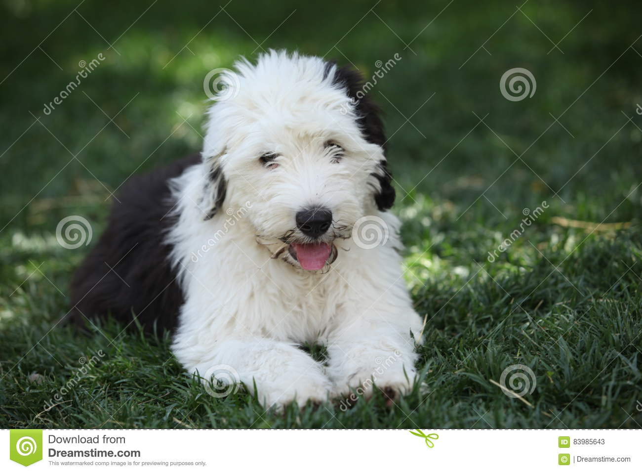 What does a sheepdog dream about