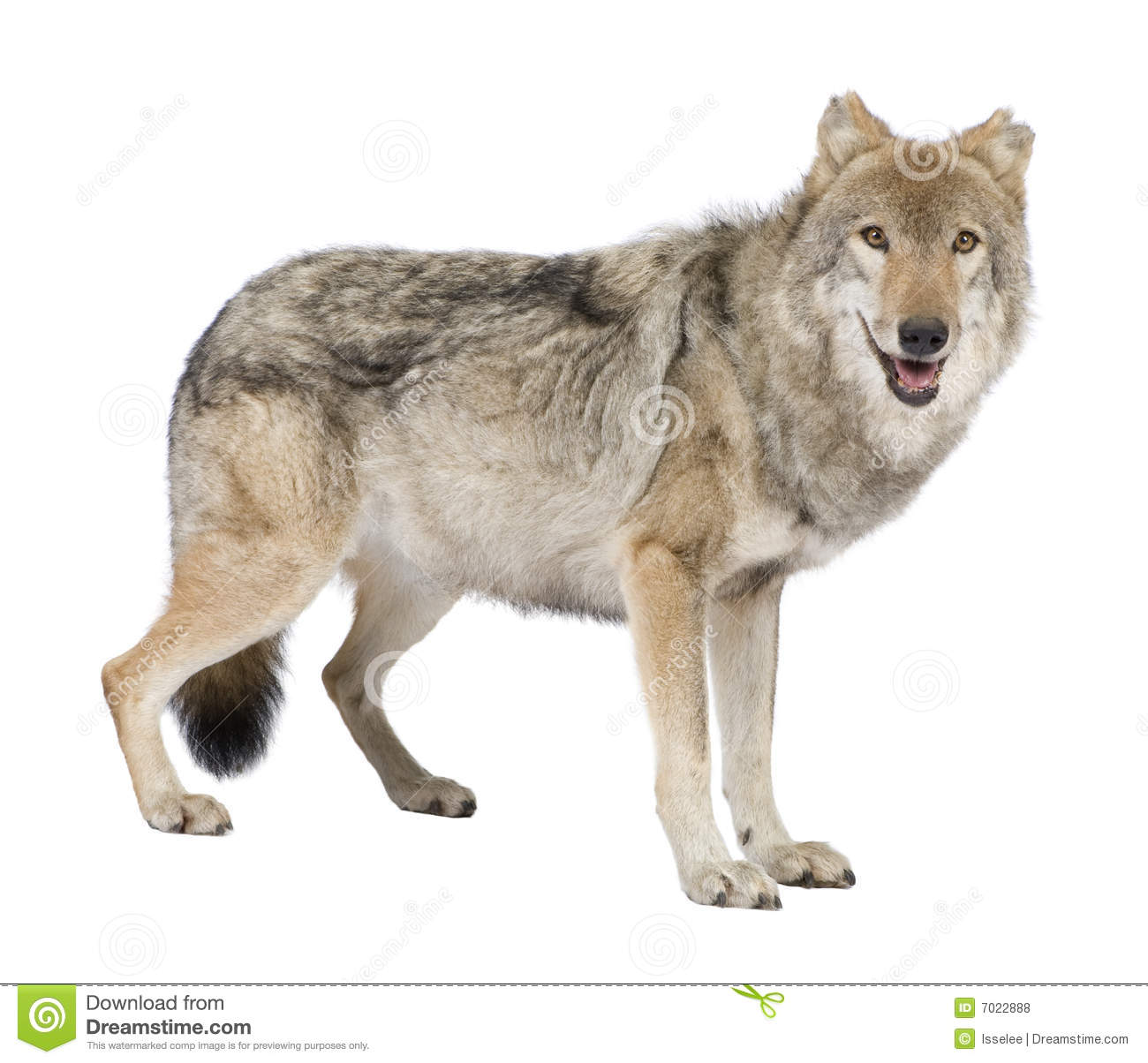 Old European Wolf - Canis Lupus Lupus Royalty Free Stock ...