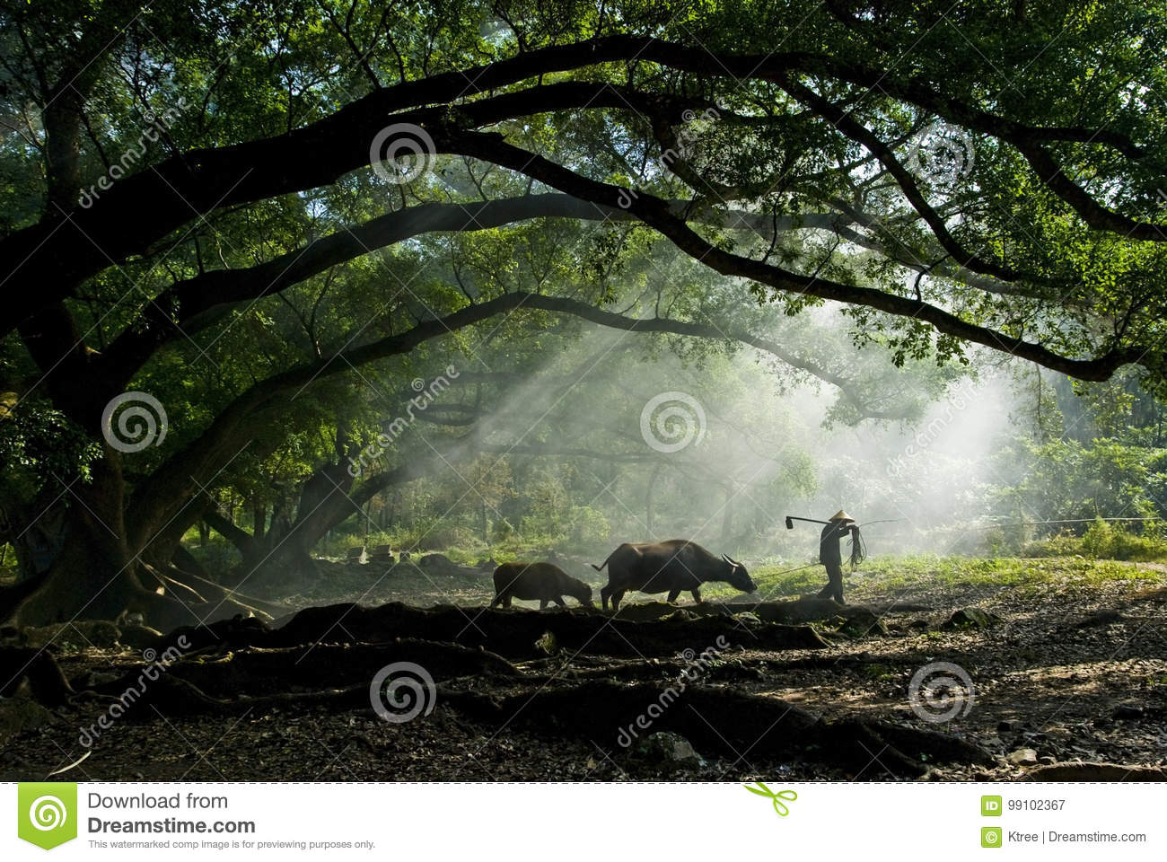 Old farmer under the ancient banyan tree