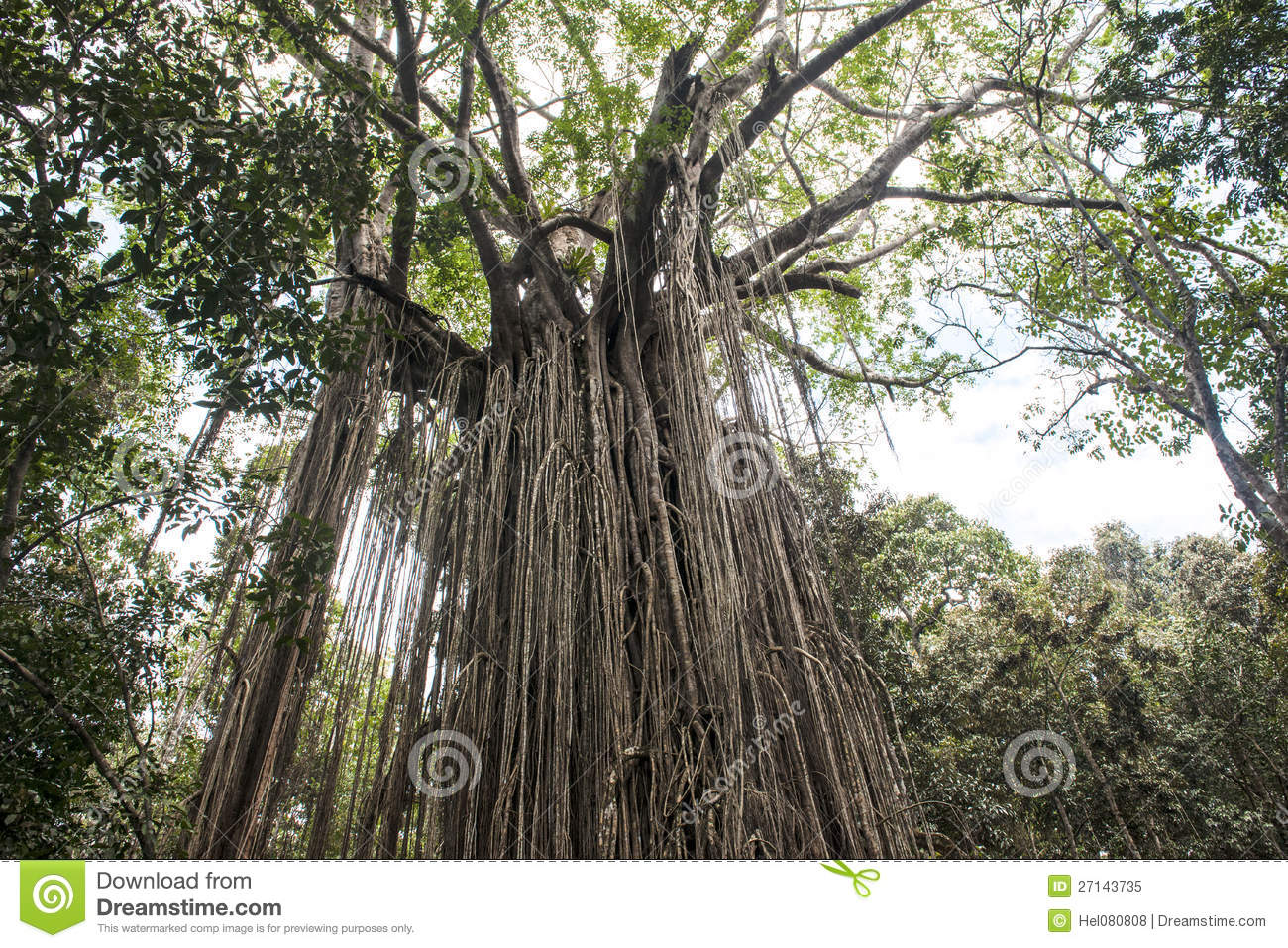 old ficus tree in the jungle of australia royalty free stock photo - Ficus Trees