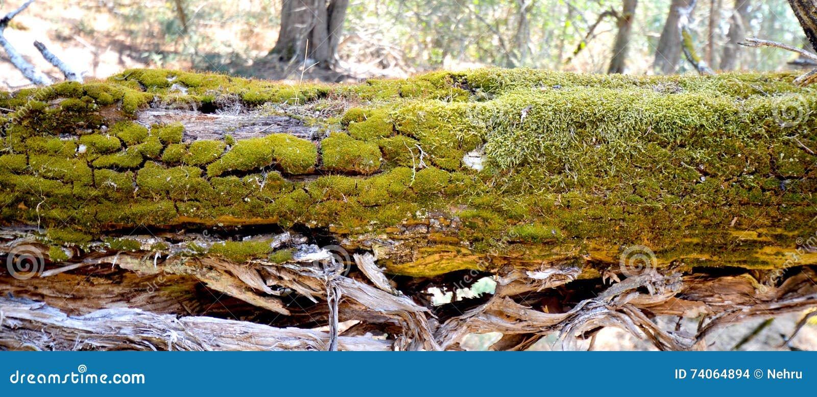 Old Foetid Juniper Forest On An Island Golem Grad Lake Prespa