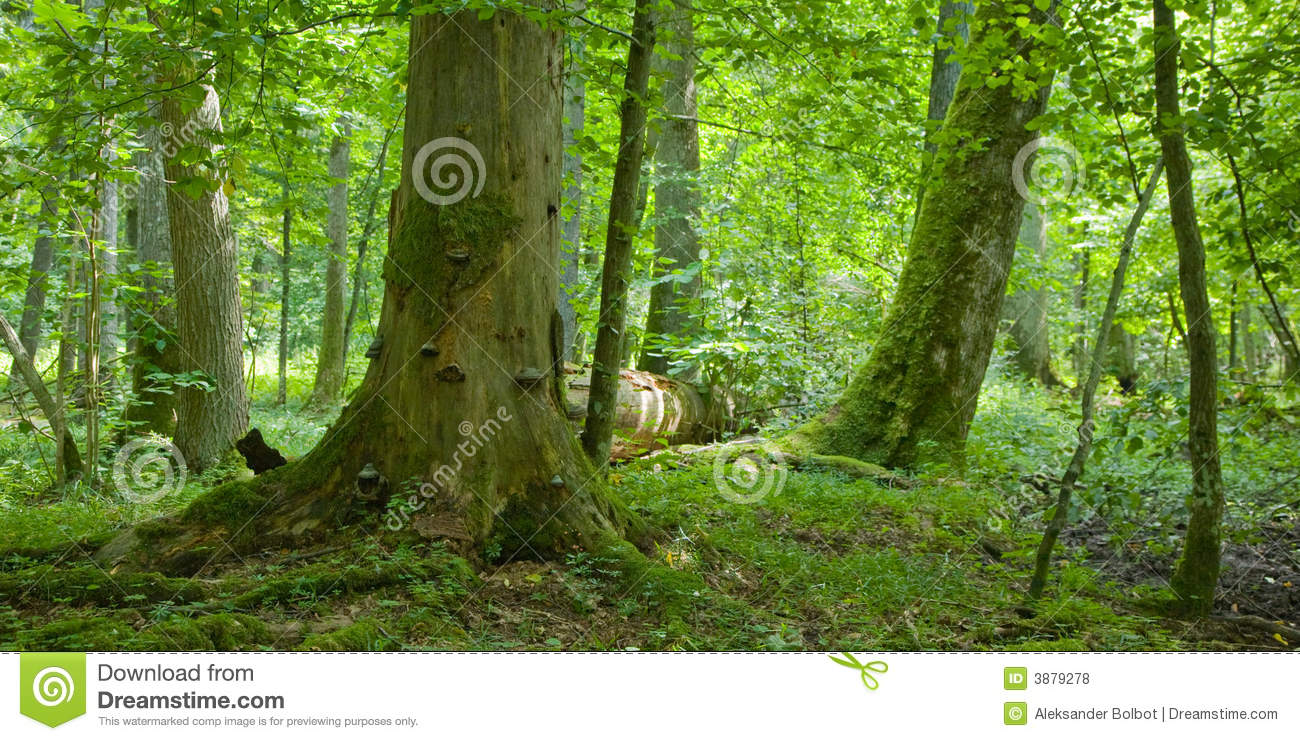Old forest with deadwood