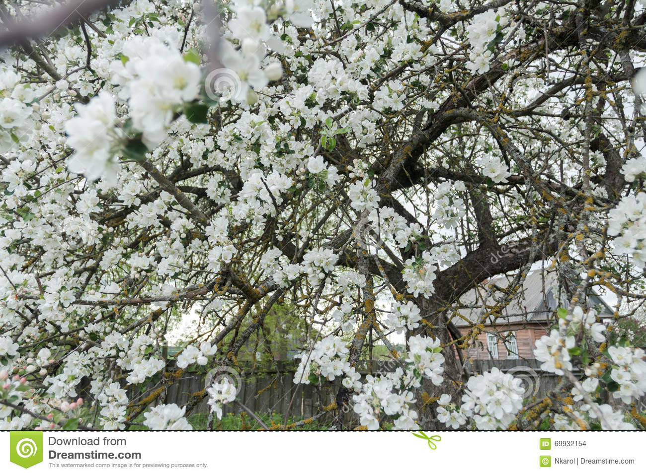 Old garden apple tree in spring full bloom covering with snowy white download old garden apple tree in spring full bloom covering with snowy white flowers at farm mightylinksfo