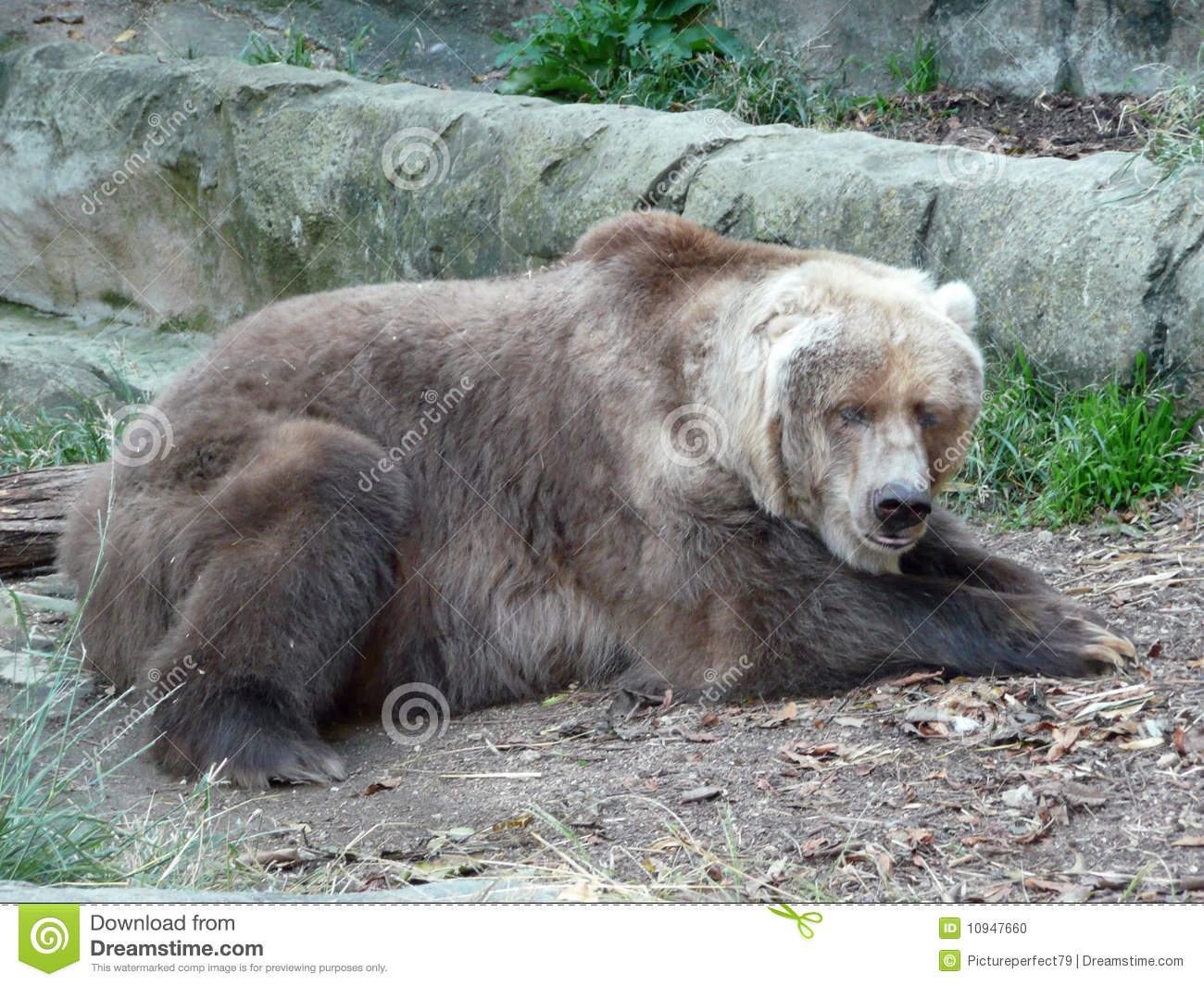 Old Grizzly Bear Stock Photo Image Of Fury Brown