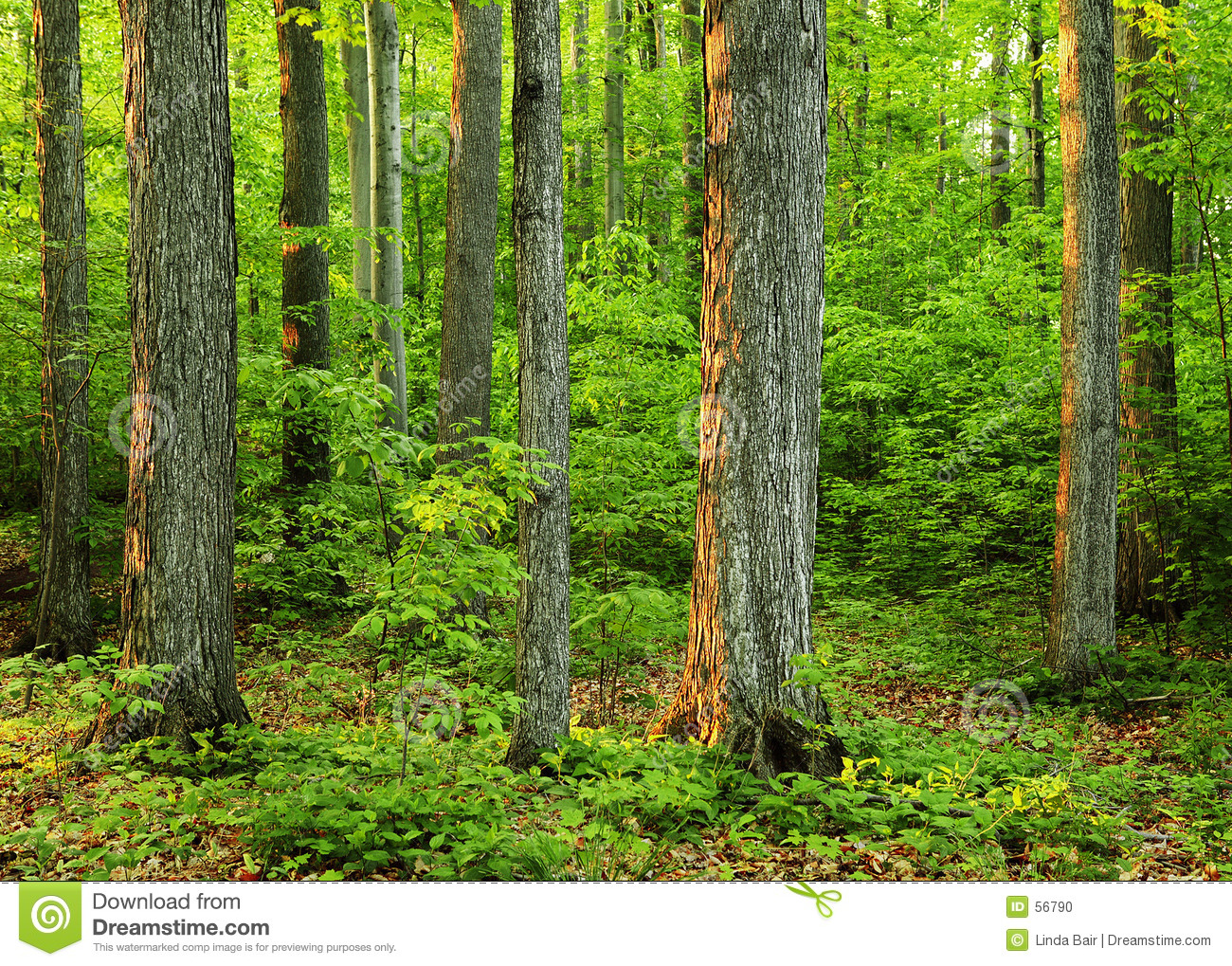 Old growth forest in  The Sacred Grove