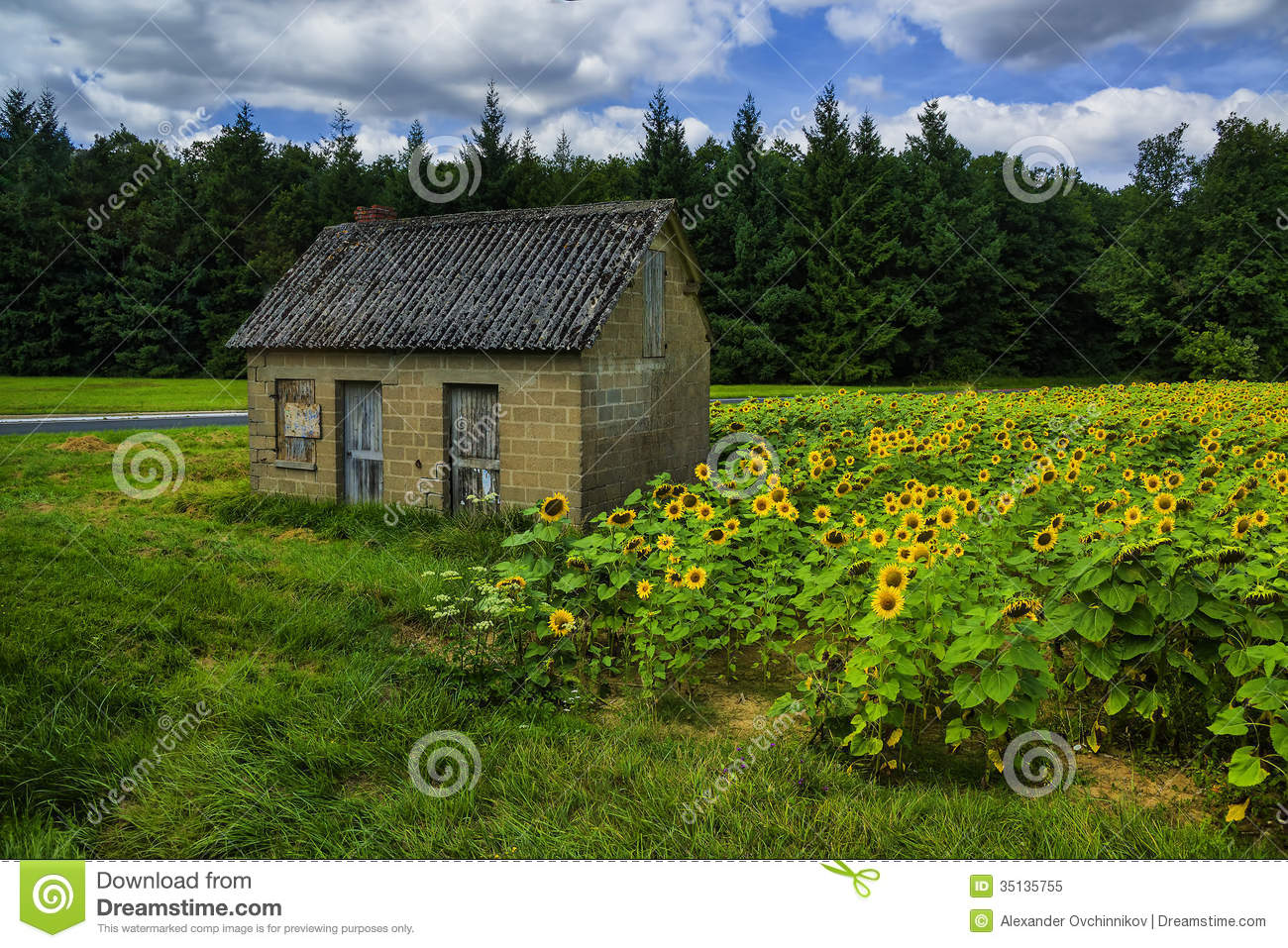 The Old House In The Field Of Sunflowers Stock Image ...