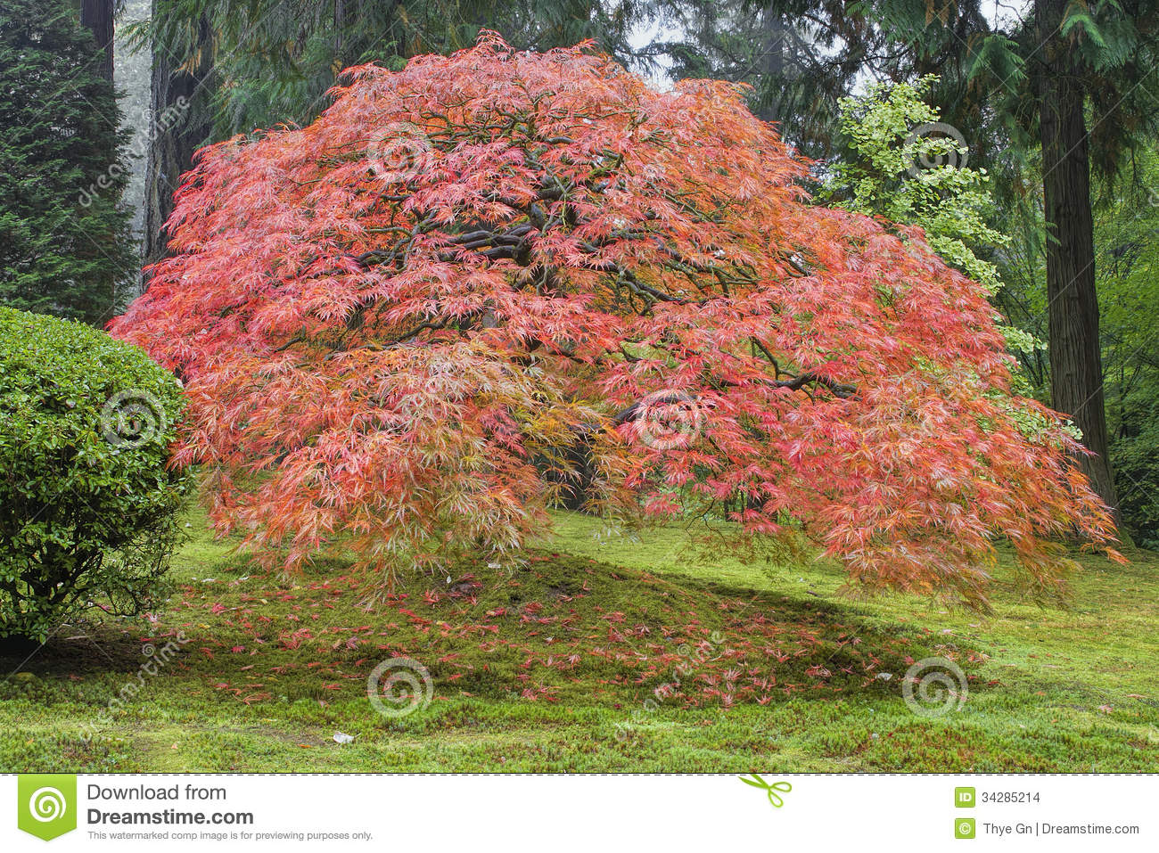 Download Old Japanese Maple Tree In Autumn Stock Photo - Image of abstract, asian: 34285214