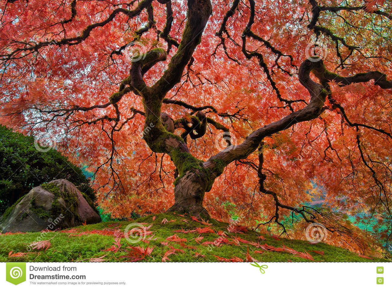 The Old Japanese Maple Tree In Autumn Stock Image - Image of north ...