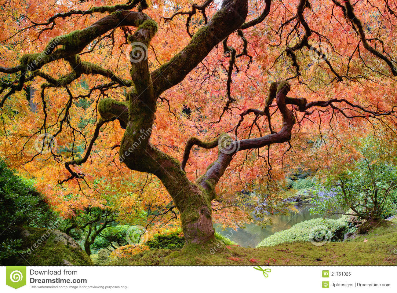 Old Japanese Maple Tree In Fall Royalty Free Stock Image Image 21751026