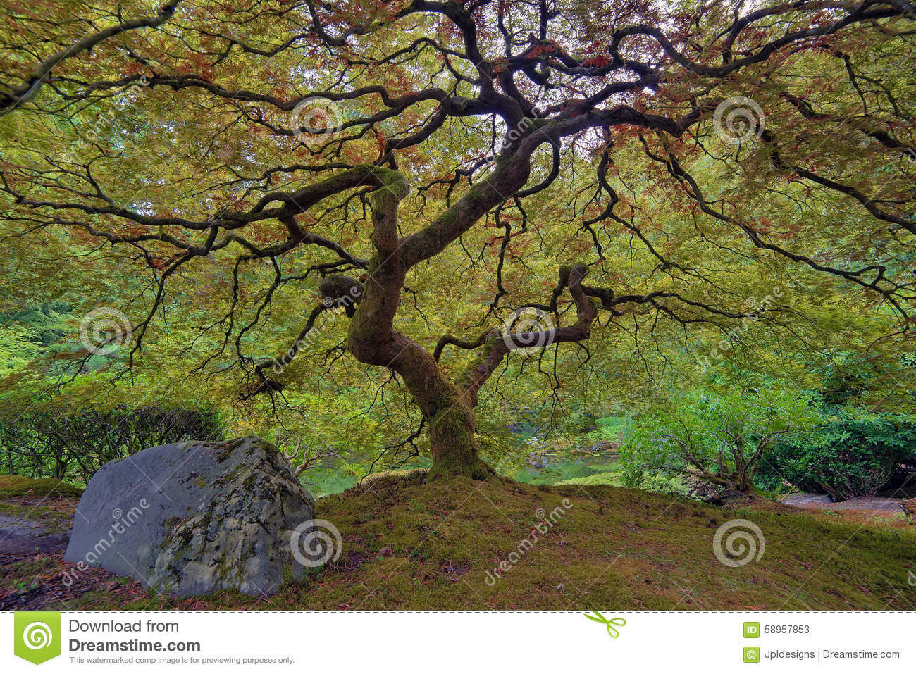 Download Old Japanese Maple Tree stock image. Image of leaf, america - 58957853