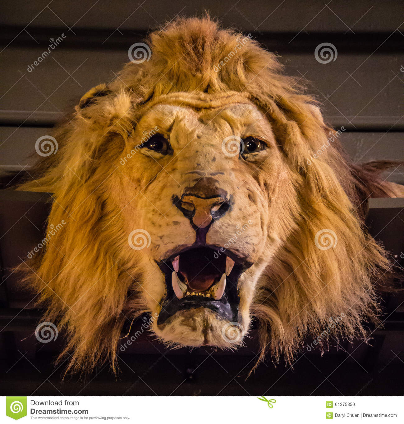 Old Lion Skin Stock Photo Image Of Shelf Pelt Mane
