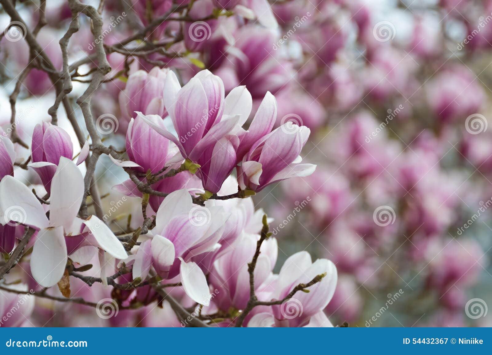 Old magnolia tree full of flowers stock image image of flower royalty free stock photo mightylinksfo