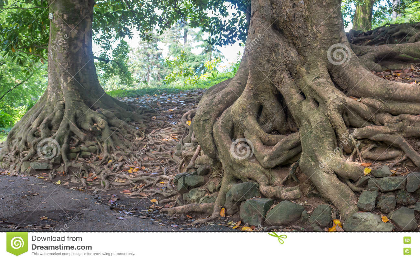 Old Magnolia Tree Roots Adjara Georgia Stock Photo Image Of