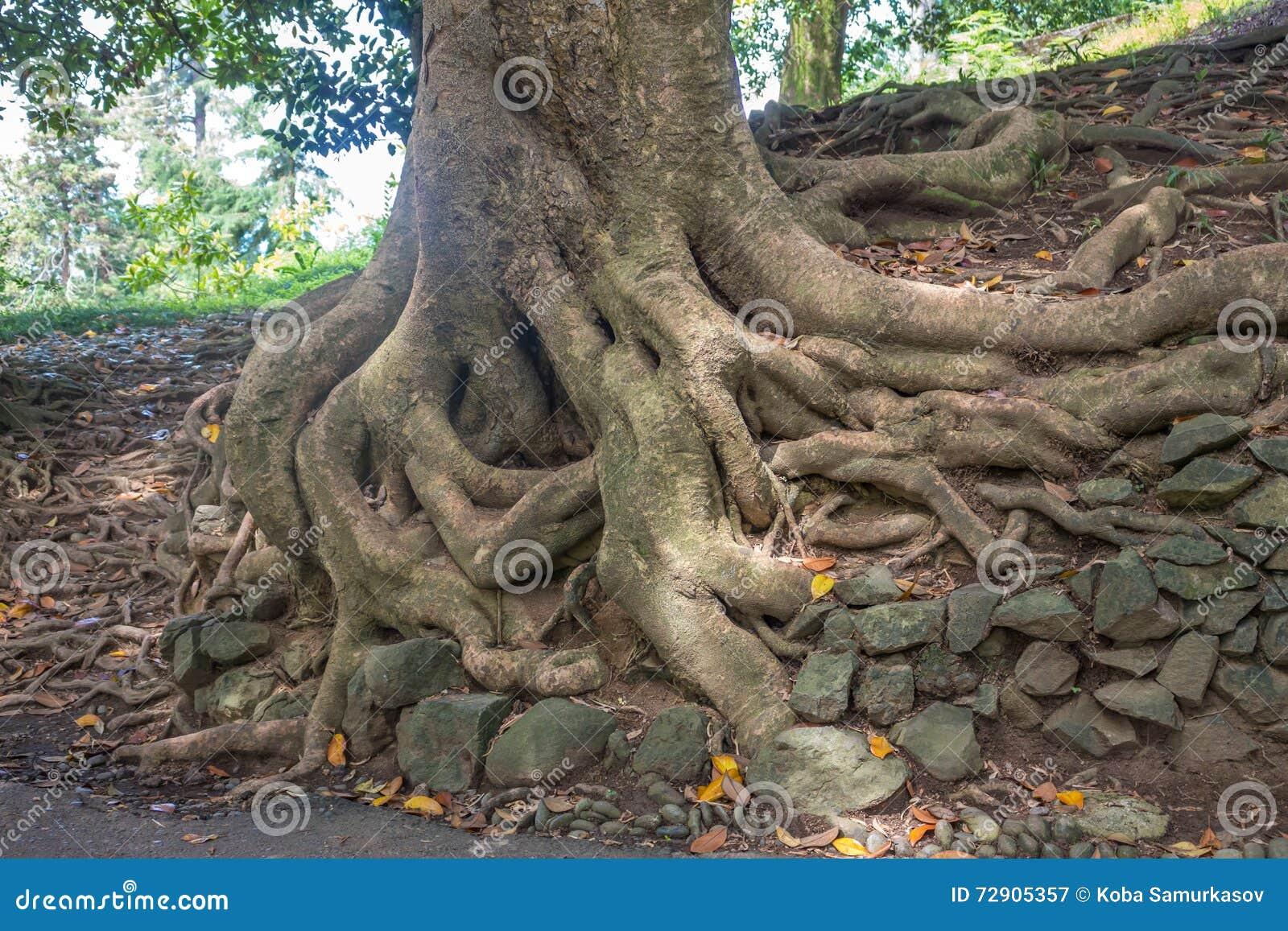Old Magnolia Tree Roots Adjara Georgia Stock Image Image Of