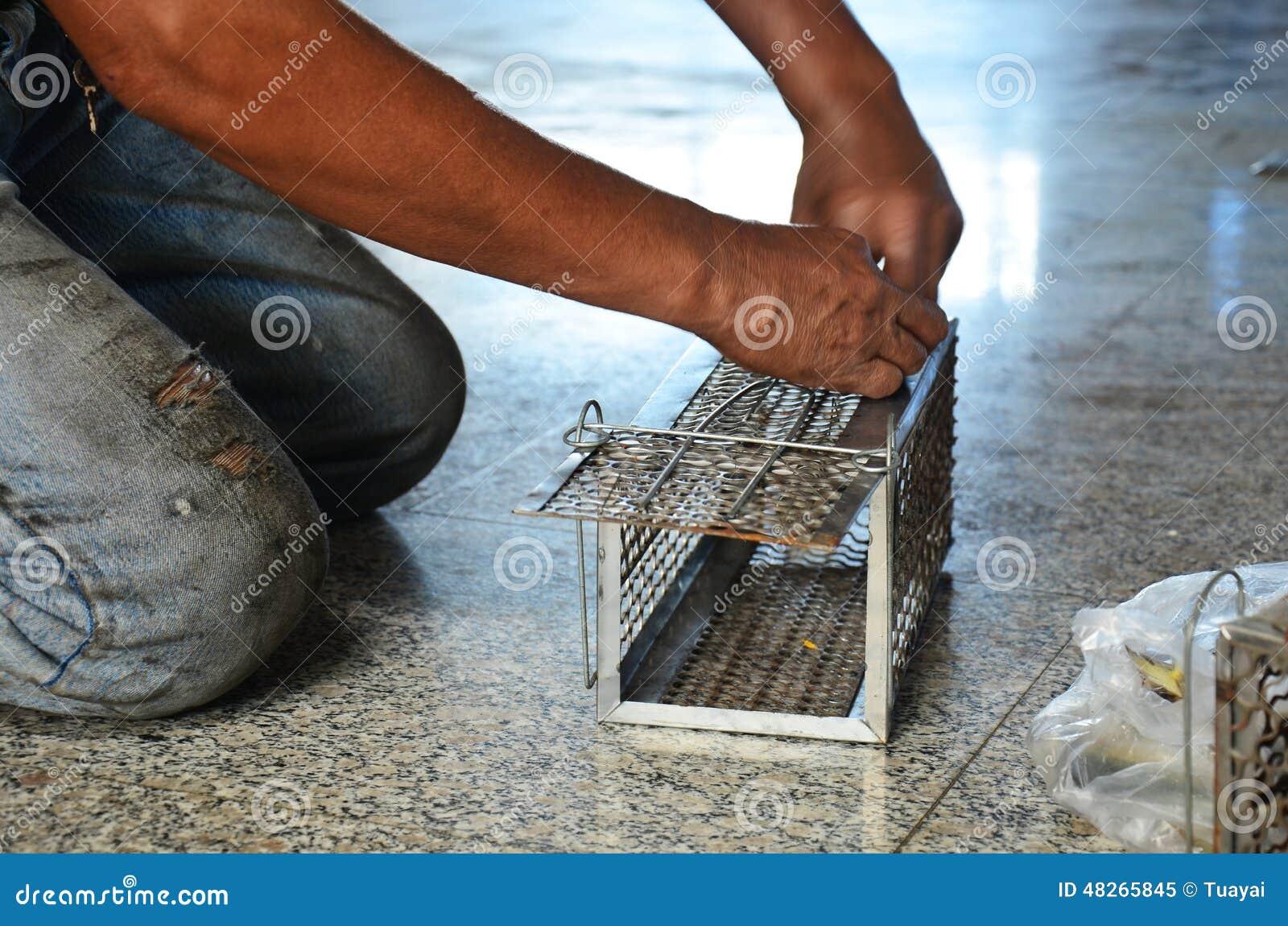 Old man use Mackerel fish for rat trap thai style