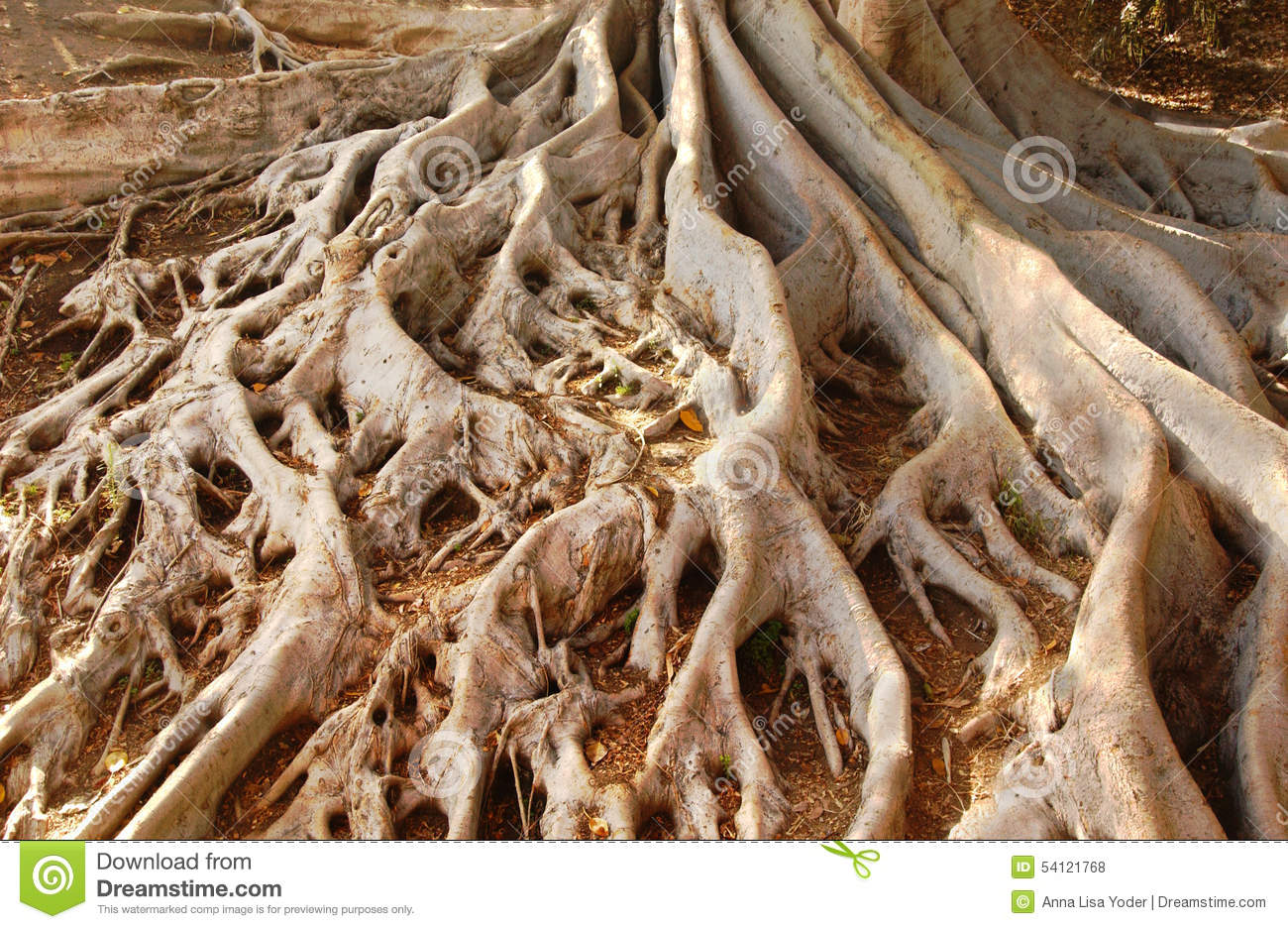 Fig Tree Roots Stock Photography - Image: 40652