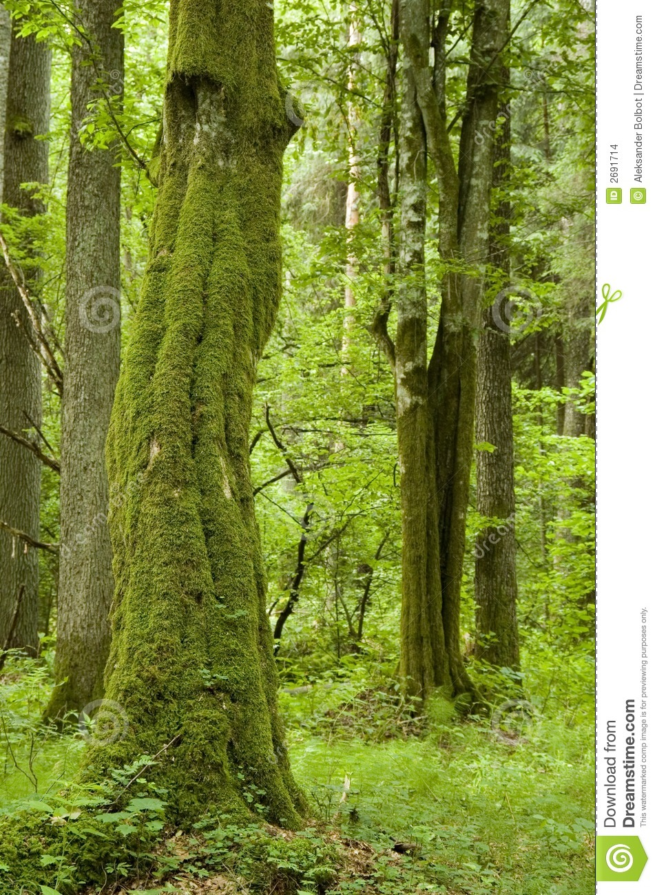 Old natural forest