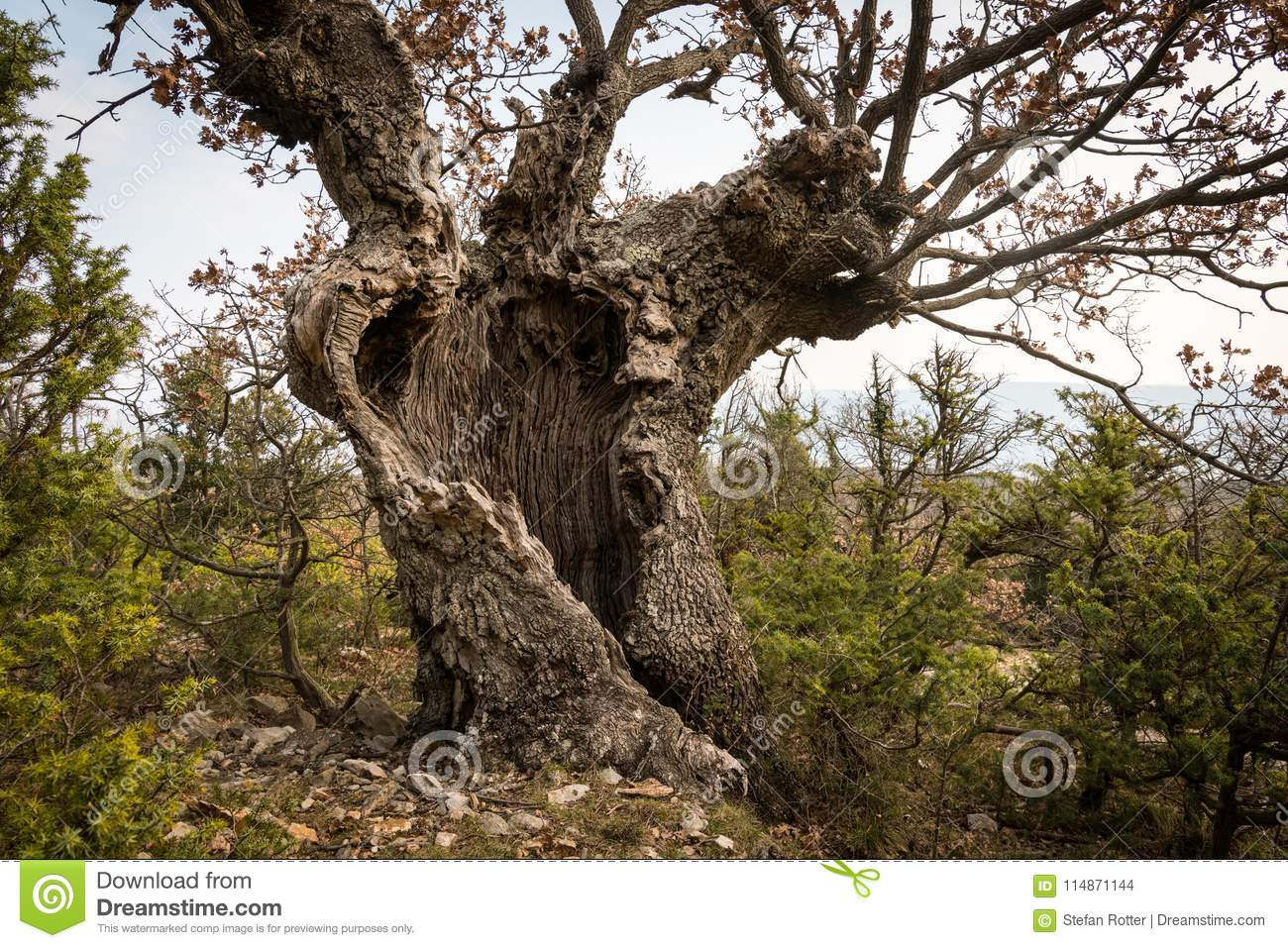 An old oak tree with cavities and holes in Croatia