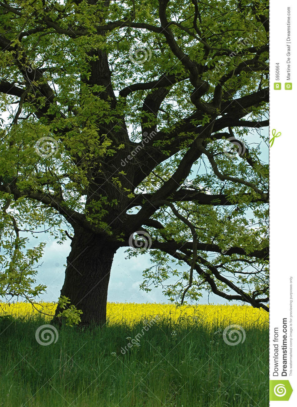 Old Oak Tree in Field