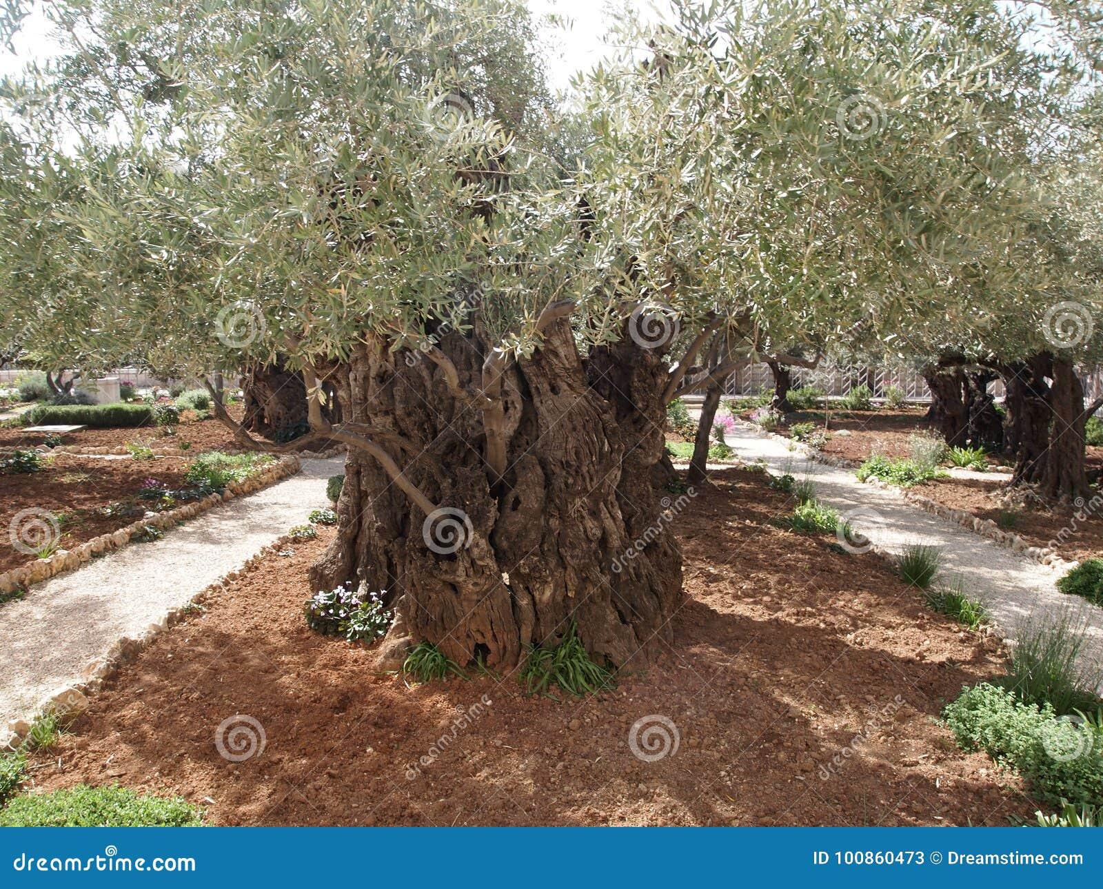 Old Olive Tree In The Garden Of Gethsemane Israel Jerusalem Stock ...