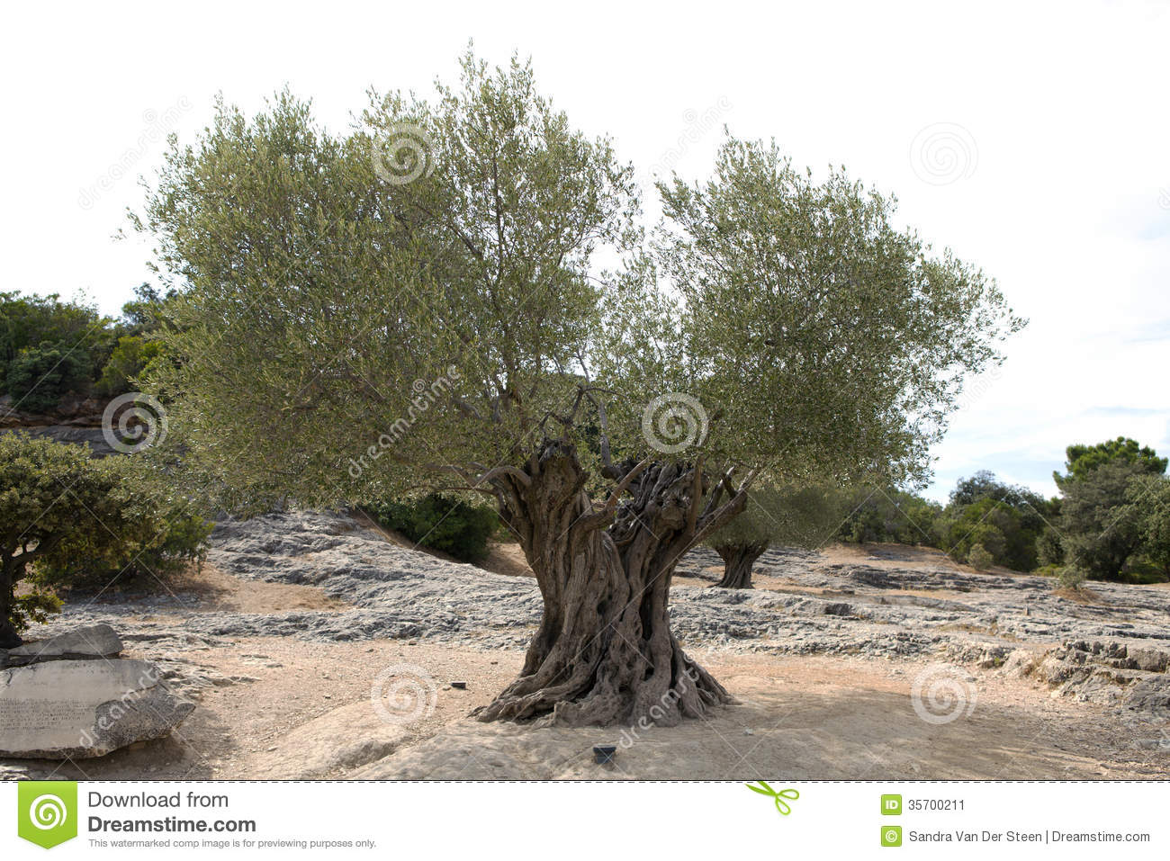 old olive tree stock image image of mediterranean bolem