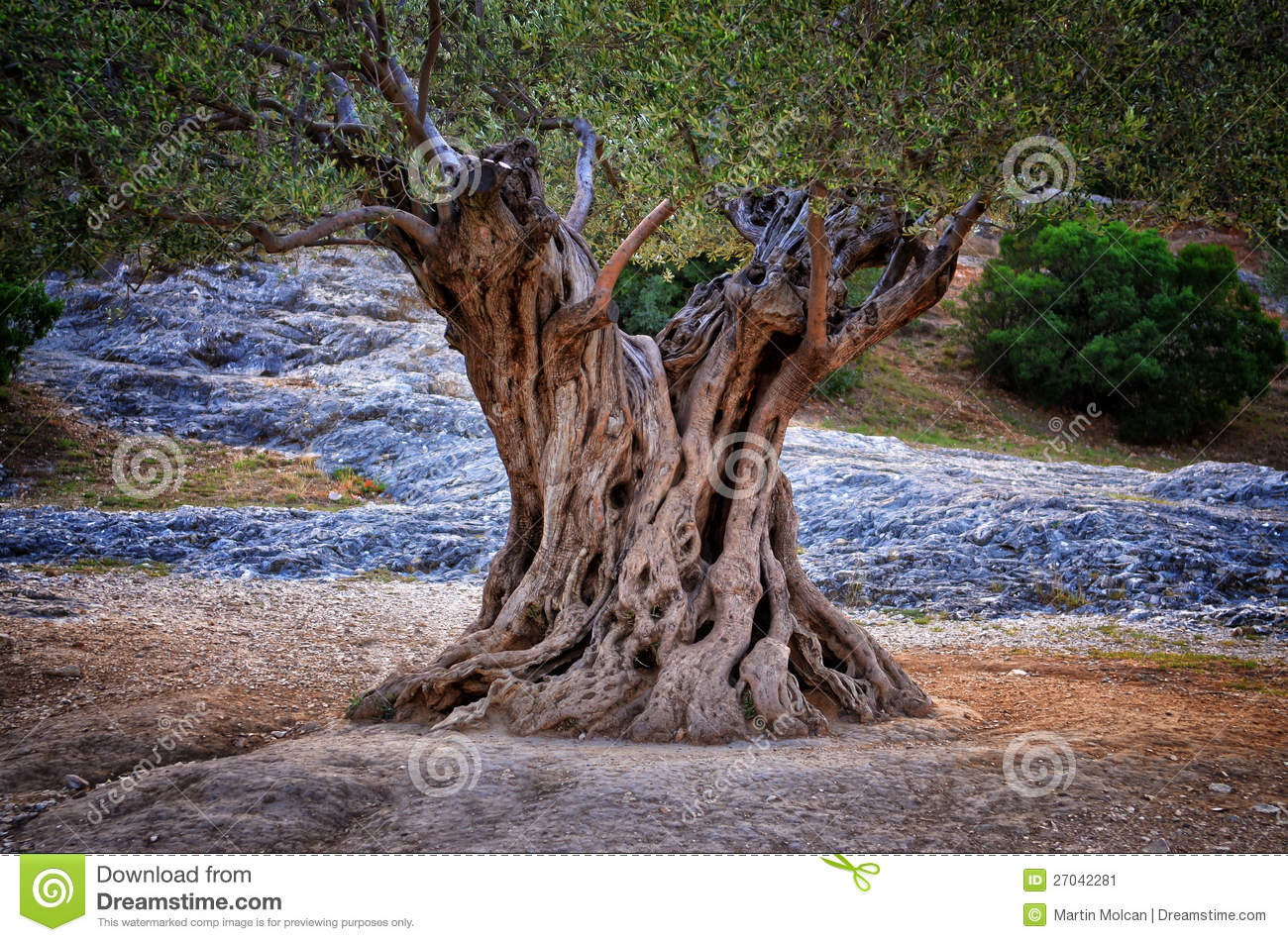 Download Old Olive Tree Trunk, Roots And Branches Stock Image - Image of plant, nature: 27042281