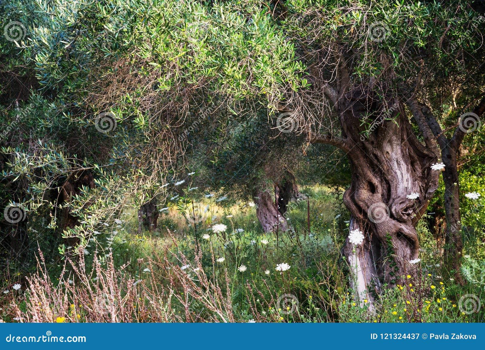 olive trees in rural garden - Mediterranean Garden