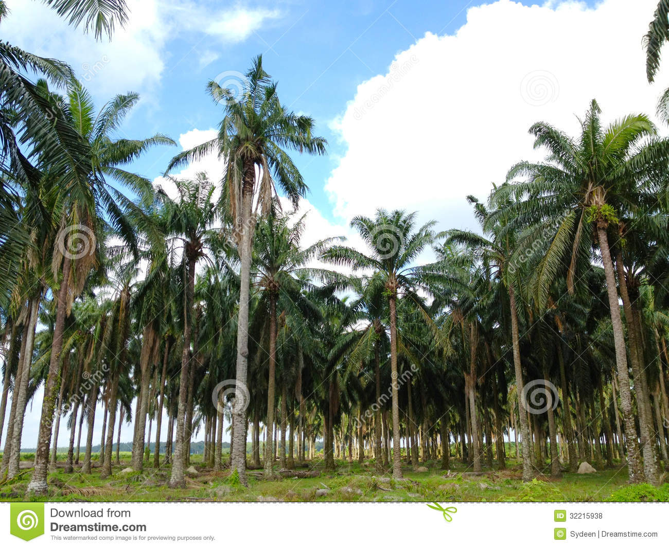 Old Palm Oil Tree Royalty Free Stock Photos - Image: 32215938