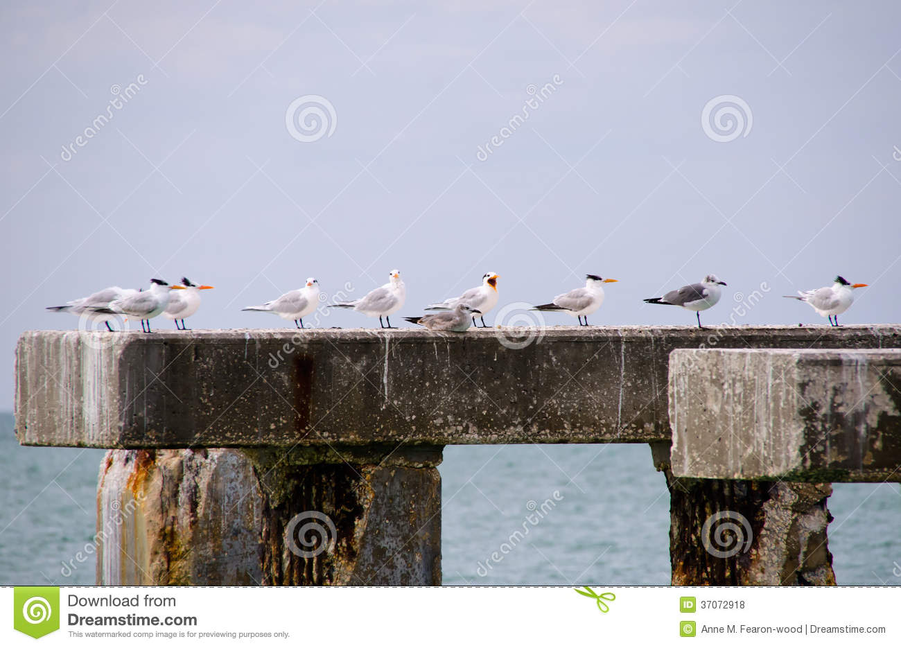 Old Pier Pilings With Terns And Gulls At Boca Gra Royalty