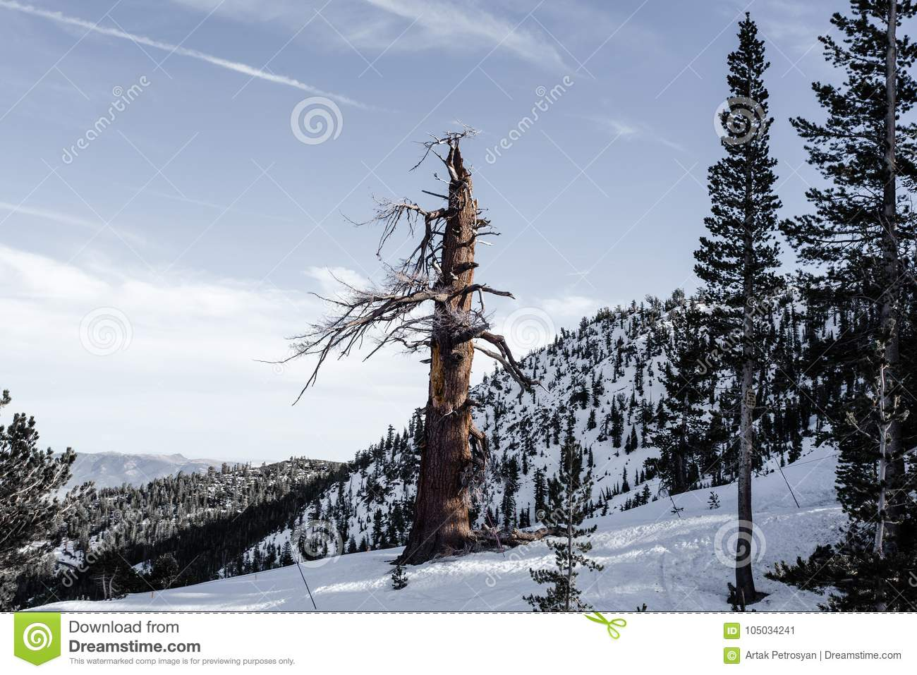 old pine stock image. image of lake, reno, park, forest - 105034241